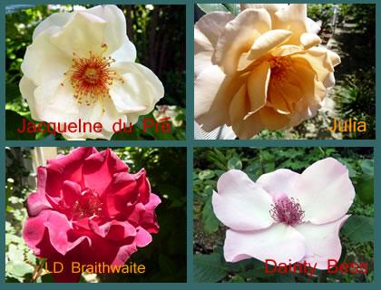 Rose201401_4