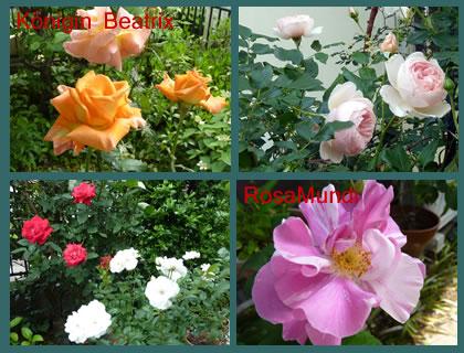 Rose201404_2
